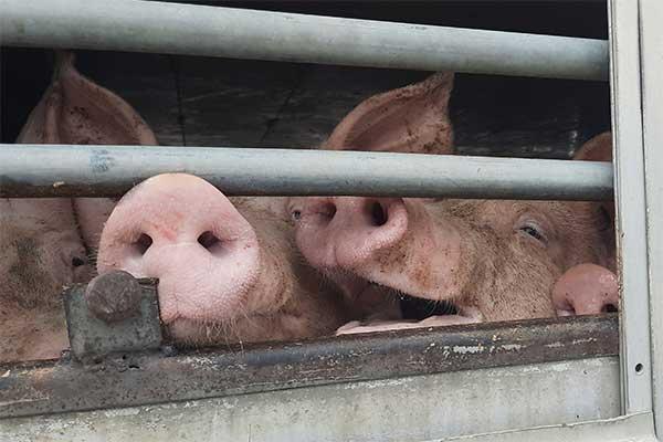 Schweine bei Hize auf Tiertransport nach Albanien
