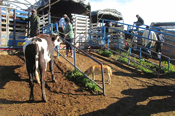 Tiermarkt Chiquinquirá, Kolumbien