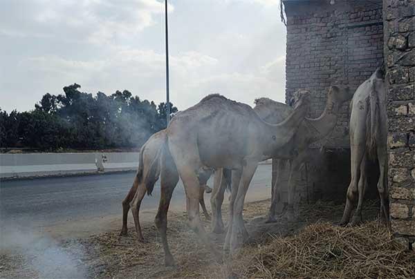 Kamele angebunden vor einem Schlachthaus in Ägypten