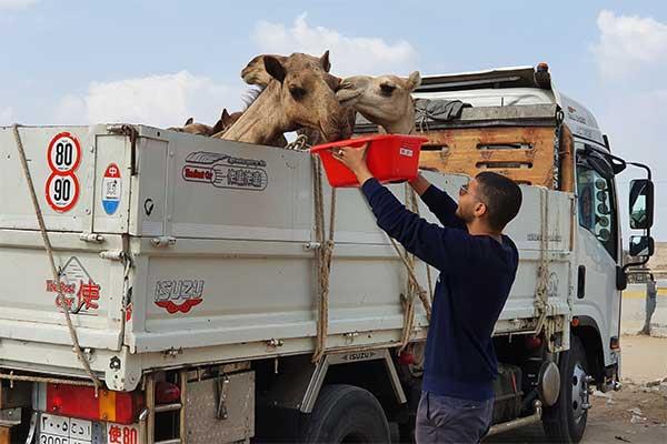 Animals' Angels im Einsatz auf dem Kamelmarkt in Birqash