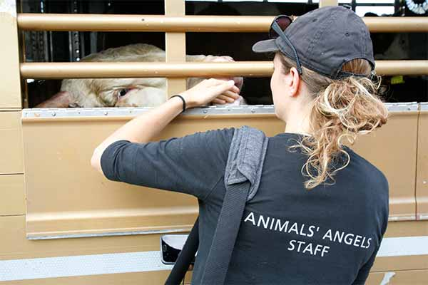 Animals' Angels kontrolliert einen Tiertransport mit Rindern an der türkischen Grenze