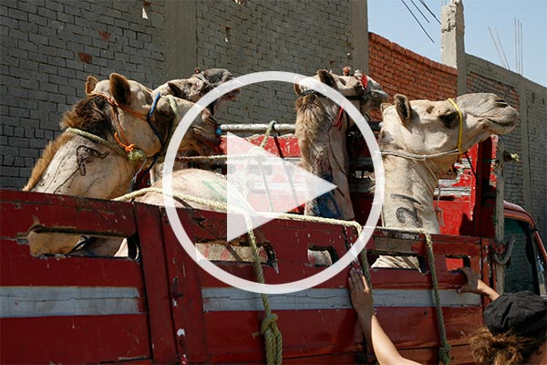 Camel transports in the Middle East
