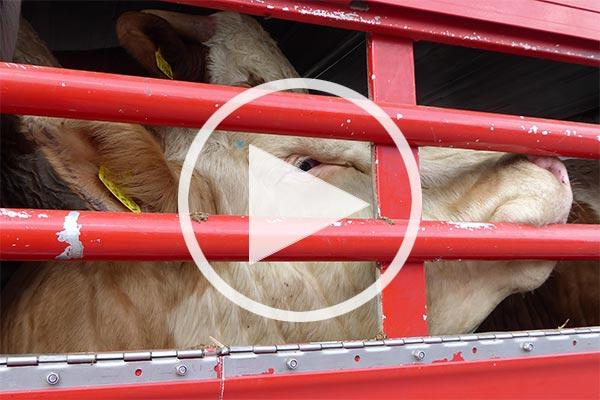 Rind auf einem Tiertranspot aus der EU in die Türkei