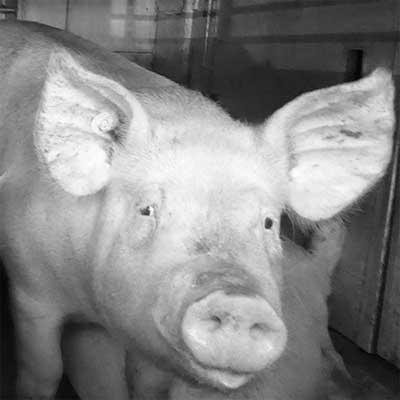 Schwein Emil in Deutschland