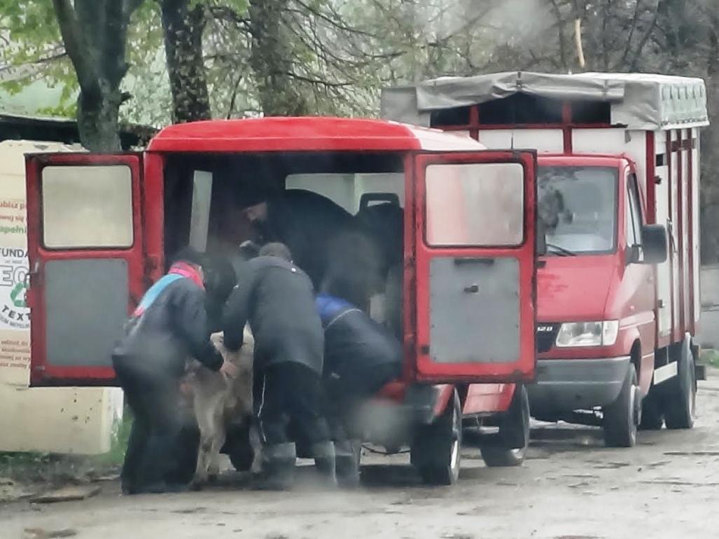 Verladung eines Kalbes, Rindermarkt Bodzentyn