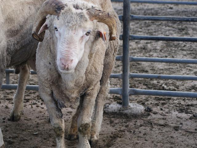 Transportunfähiges Schaf, Australien