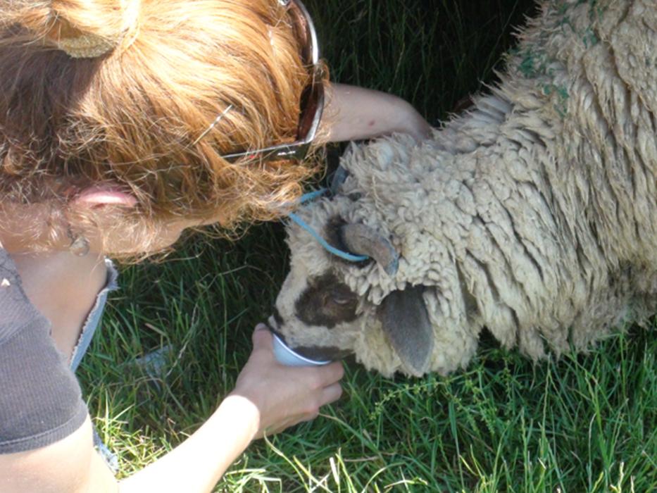 Animals' Angels tränkt ein Schaf, Tiermarkt Pancota, Rumänien.