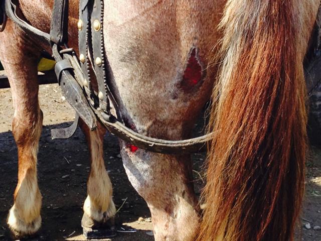 Pferd auf Tiermarkt in Rumänien