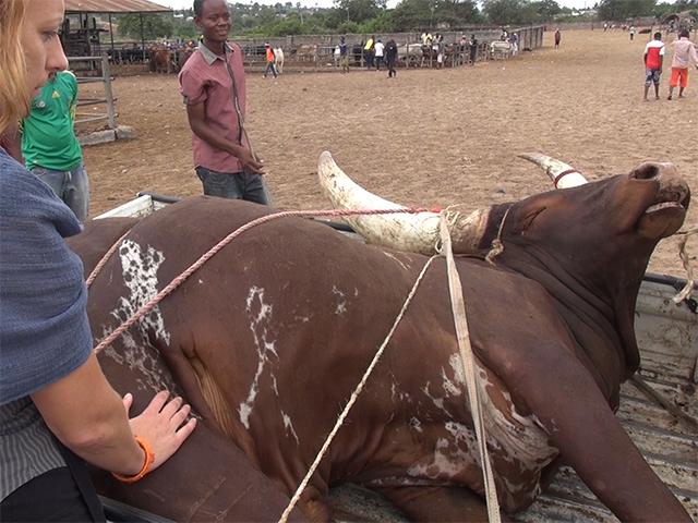 Vor-Ort-Recherche zu Tierschutzproblemen während Tiertransporten in Tansania