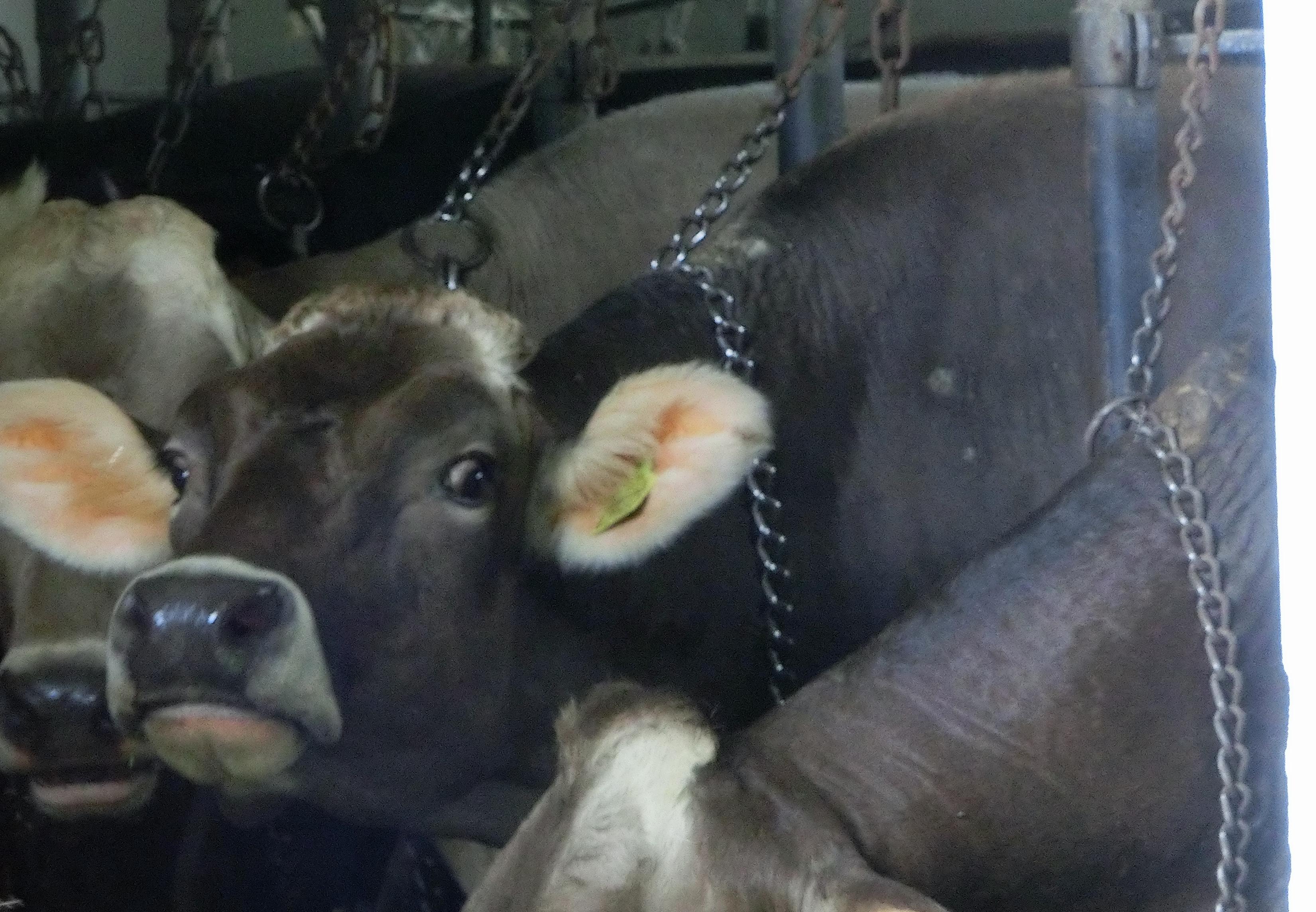 Anbindehaltung von Rindern in Hessen, Deutschland