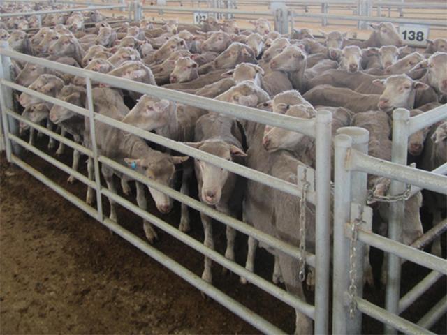Schafe auf dem Saleyard in Katanning