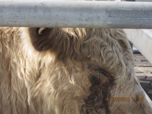 Saleyard für Rinder in Australien