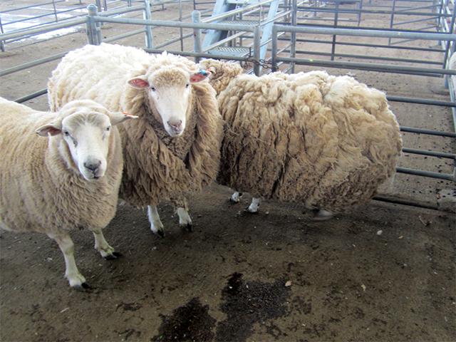 Schafe auf Saleyard in Australien