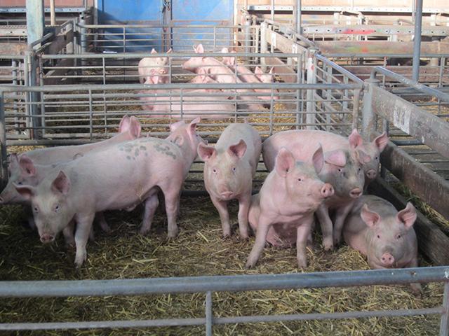 Schweine auf dem Saleyard in Ballarat