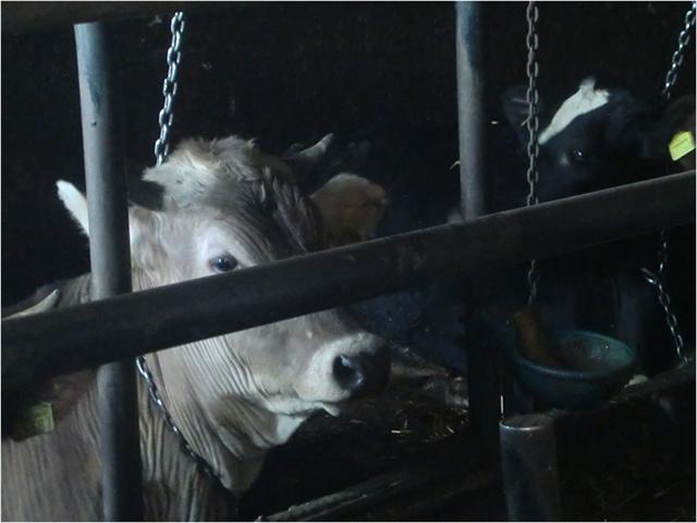 Anbindehaltung von Rindern in Deutschland