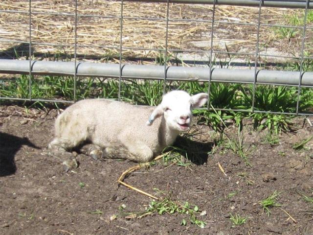Krankes Lamm auf dem Tiermarkt von Mundijong, Australien