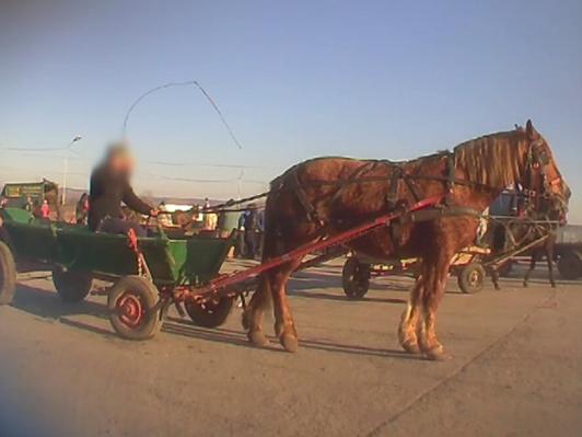 Zugproben für Pferde auf dem Tiermarkt von Targoviste, Rumänien