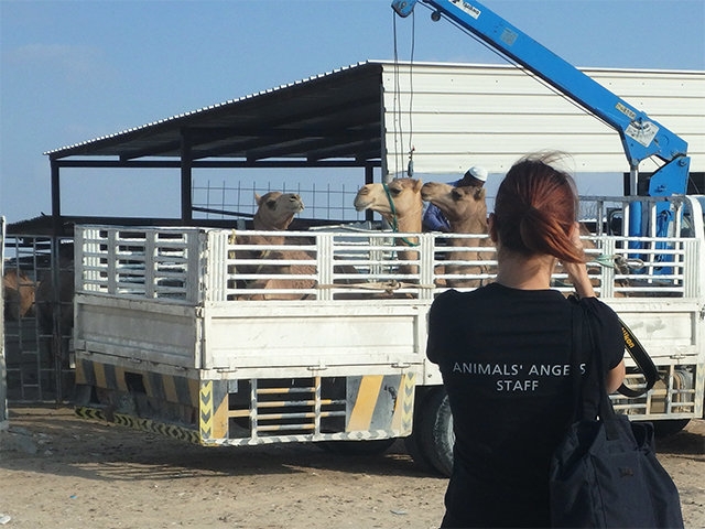 Animals' Angels kontrolliert Tiermärkte in Katar.