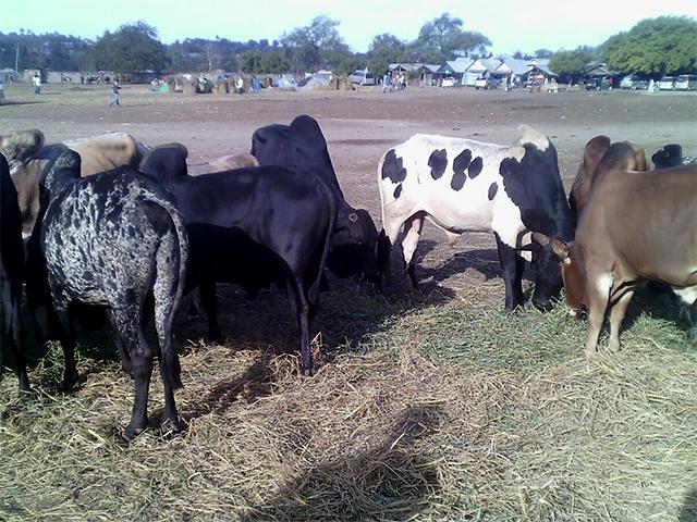 Rinder auf dem Markt von Pugu, Tansania
