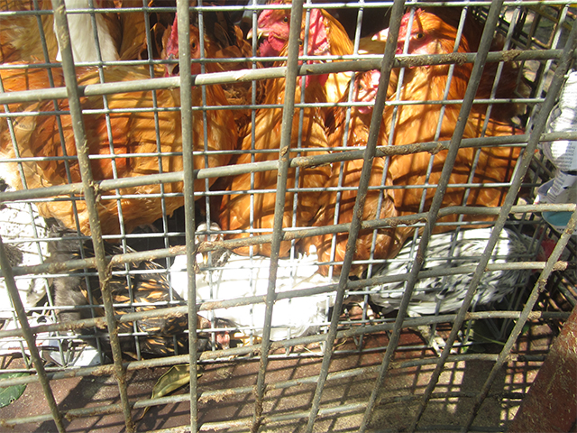 Übervolle Käfige auf dem Tiermarkt in Mundijong, Australien