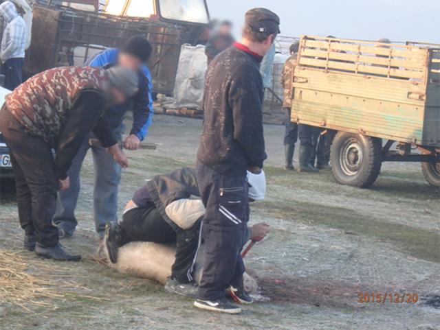 Schlachtung von Schweinen auf dem Tiermarkt von Calugareni, Rumänien