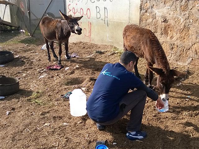 Animals' Angels tränkt die Esel auf dem Tiermarkt von Mers El Kheir, Marokko