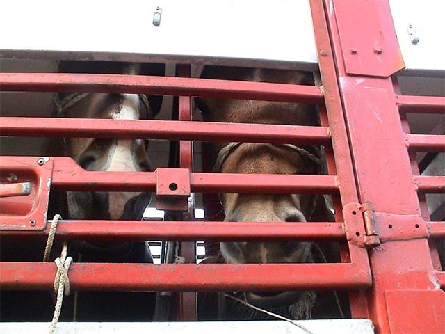 Teilnahme an EU Arbeitsgruppe zur Erstellung von Guidelines für den Transport von Pferden.