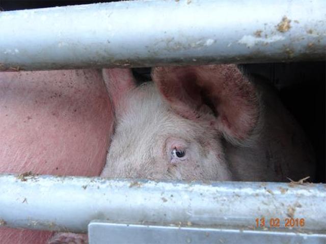 Transport mit Schweinen von Spanien nach Italien, Februar 2016