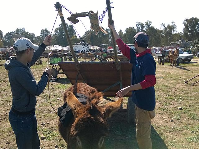 Animals' Angels im Einsatz für die Esel und Maultiere auf dem Tiermarkt von Skherat, Marokko