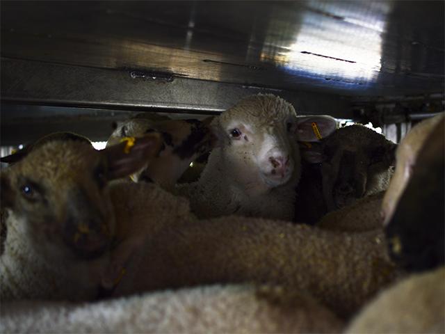 Langstrecken-Tiertransport mit Lämmern von Ungarn nach Italien