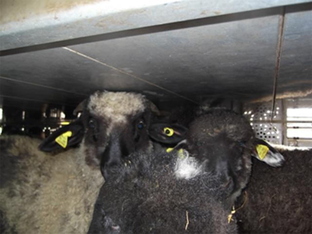 Langstrecken-Tiertransport mit Lämmern von Rumänien nach Italien
