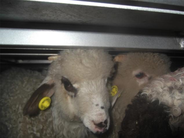 Tiertransport mit Lämmern von Rumänien nach Italien