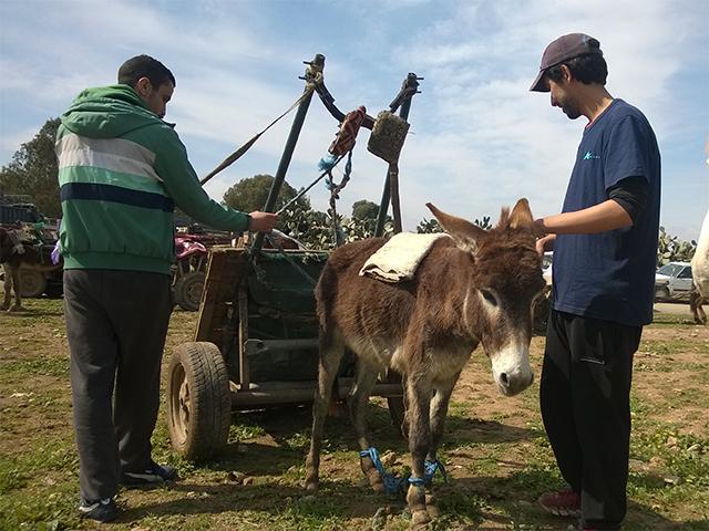 Animals' Angels im Einsatz für die Maultiere und Esel auf dem Tiermarkt in Skherat, Marokko