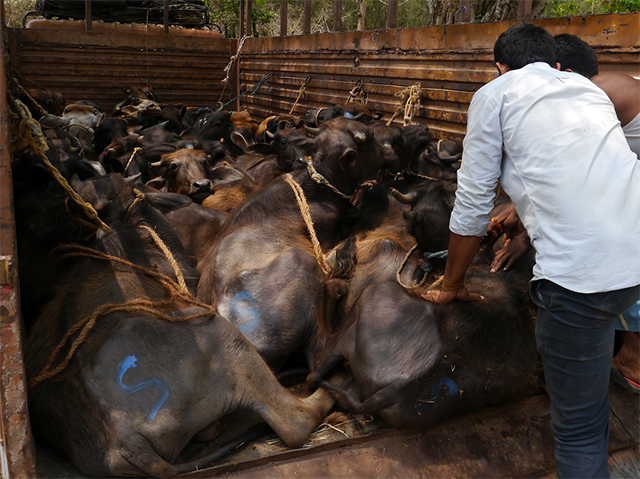 Überladener Kälbertransport auf Rindermarkt in Indien