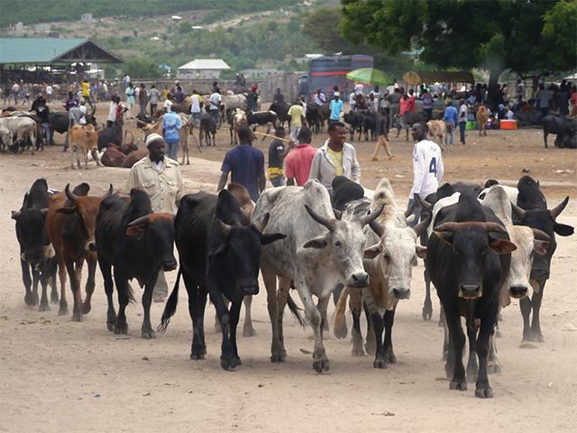 Rinder auf einem Tiermarkt in Tansania
