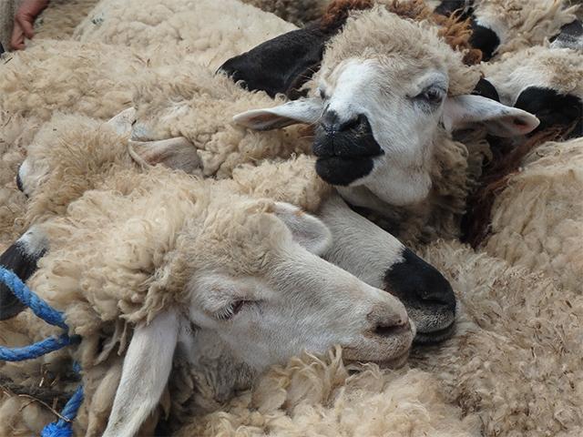 Aneinandergebundene Schafe auf einem Tiermarkt in Marokko