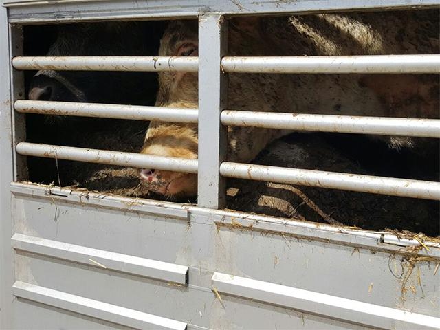 Tiertransport mit Kälbern aus Belgien hängt 16 Tage an der Veterinärzollstelle in Kapikule fest