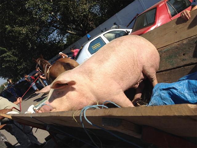 [Translate to englisch:] Schwein Suflet, Tiermarkt Calarasi, Rumänien