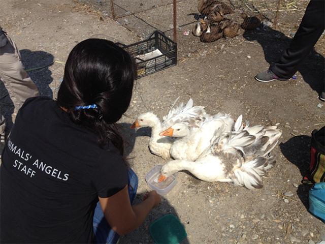 Tiermarktkontrolle in Calugareni, Rumänien
