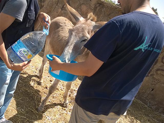 Das Animals' Angels-Team tränkt die durstigen Esel auf dem Tiermarkt von Mers El Kheir