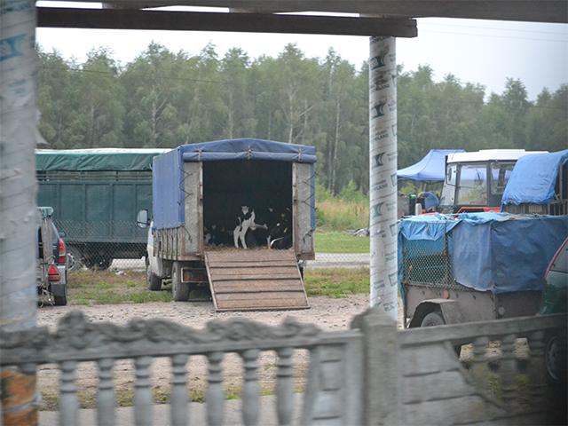 Tiermarktkontrolle in Konopki, Polen