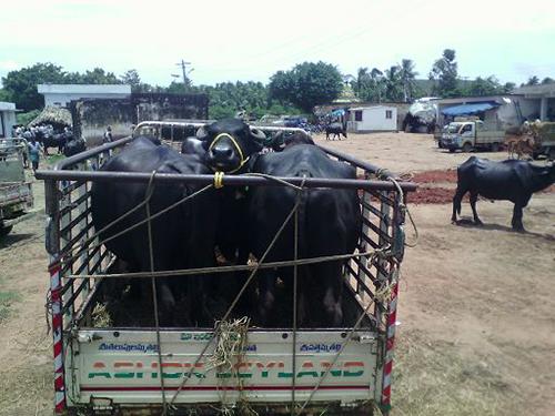 Tiertransport Indien