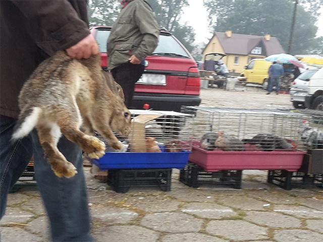 Tiermarktkontrolle in Proszowice, Polen