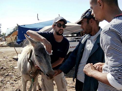 Animals' Angels hilft den Eseln und Maultieren auf dem Tiermarkt von Mers El Kheir, Marokko