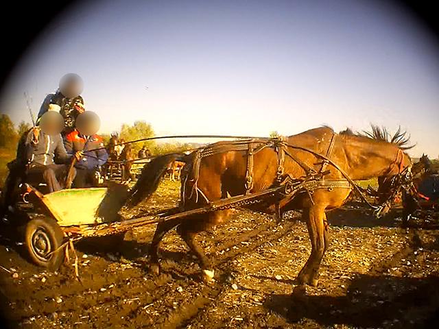 Zugproben für Pferde, Tiermarkt Rumänien