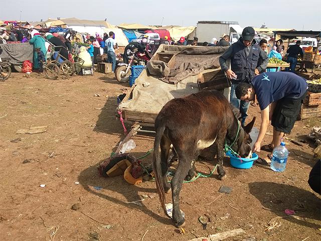 Animals' Angels leistet Erste Hilfe bei den Tieren auf dem Tiermarkt von Mers El Kheir, Marokko
