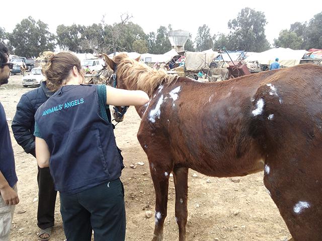 Animals' Angels leistet Erste Hilfe bei Ahmed, einem verletzten Pferd