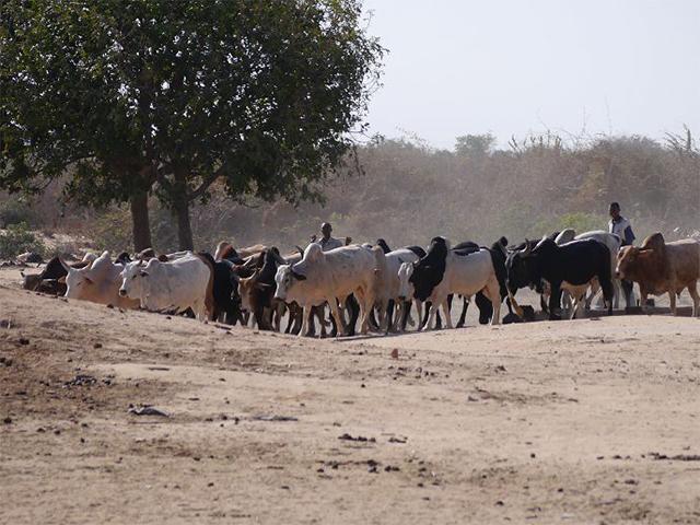 Tiermarkt Tanzania