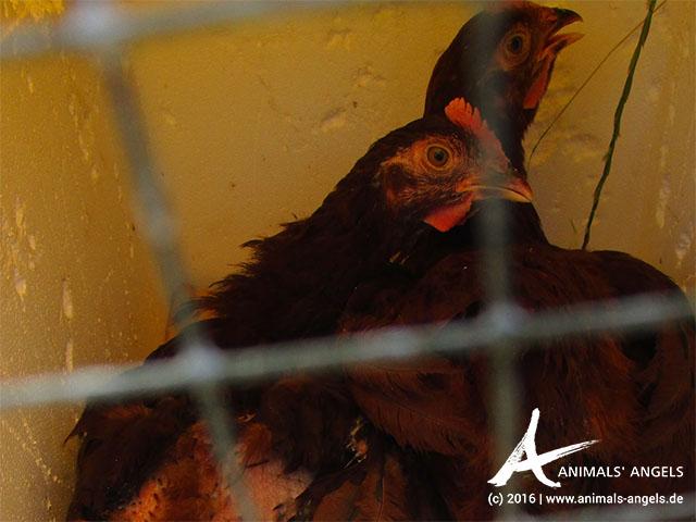 Hühner auf dem Tiermarkt von Mundijong, Australien