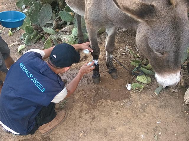 Animals' Angels behandelt die verletzten Tiere auf dem Tiermarkt von Skherat, Marokko
